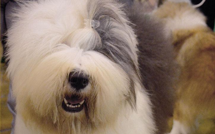 Eventos Anuais nas Caldas da Rainha, Exposição Internacional Canina, Gocaldas, o teu Guia Turístico Local